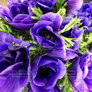 紫の花のグループの写真・画像素材[1779728]