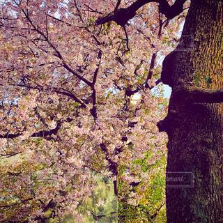神社の桜の写真・画像素材[2170849]