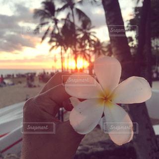 夕陽に照らされるプルメリアの写真・画像素材[1436347]