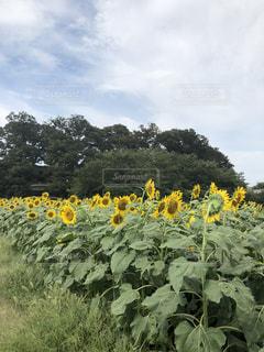 ひまわり畑の写真・画像素材[1426207]