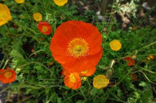 草の中の黄色い花の写真・画像素材[1270311]
