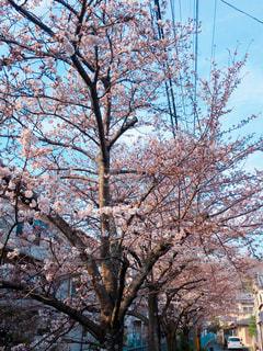 桜並木の写真・画像素材[1270403]