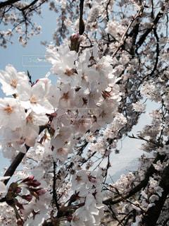 晴れた日の桜の写真・画像素材[1270406]