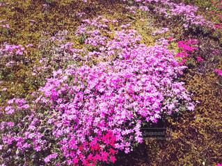芝桜の写真・画像素材[1276994]