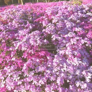 満開の芝桜の写真・画像素材[1270504]