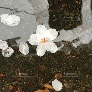花の写真・画像素材[40272]