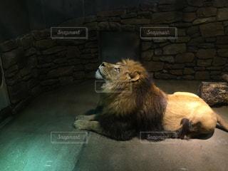 凛々しいライオンさんの写真・画像素材[1279193]