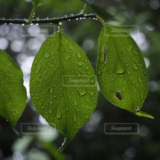 雨に濡れた葉っぱのアップの写真・画像素材[1272696]