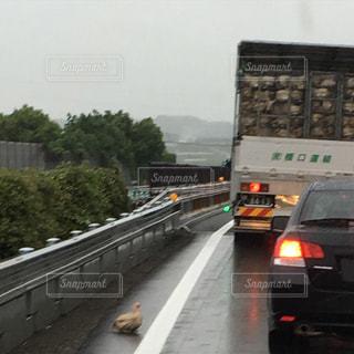 忙しい道路を走る車と脱走ニワトリの写真・画像素材[1272854]