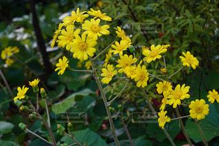 ツワの花の写真・画像素材[1722979]