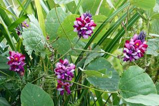 くすの花の写真・画像素材[1724215]
