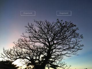 朝焼けの木の写真・画像素材[1275201]