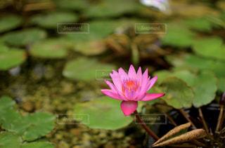 蓮の花の写真・画像素材[1274164]