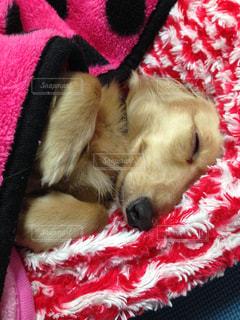 スヤスヤと人間のようにぐっすり寝る犬の写真・画像素材[1274138]