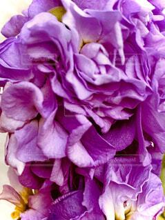 紫色の花のクローズアップの写真・画像素材[3959528]