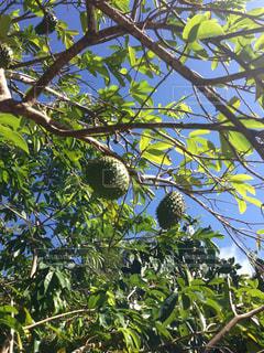 果物の木のアップの写真・画像素材[1274860]