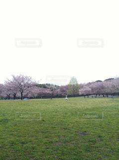 背景の桜と大規模なグリーン フィールドの写真・画像素材[1275954]
