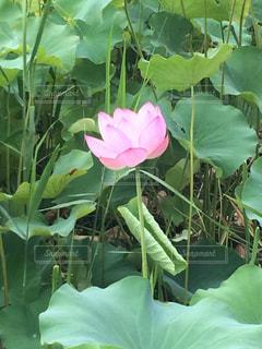 蓮の花の写真・画像素材[1373731]