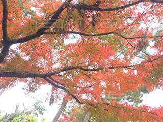もみじの木の写真・画像素材[1649458]