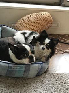 ベッドの上に横たわる犬の写真・画像素材[1275686]