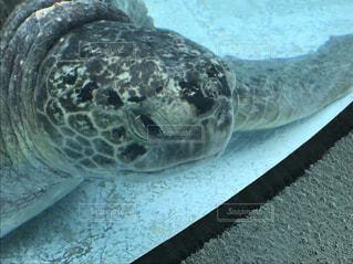 水の下で泳ぐ海亀の写真・画像素材[1286701]