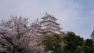 姫路城をバックに桜が満開の写真・画像素材[1277974]