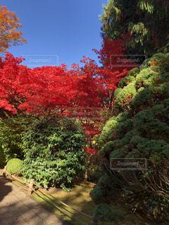 紅葉(日本庭園)の写真・画像素材[1277659]