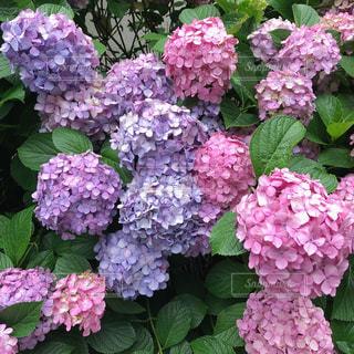 近くにバック グラウンドでフルダ Klager ライラック ガーデンの花のアップの写真・画像素材[1283580]