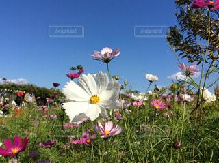 コスモスと秋の青空の写真・画像素材[1697090]