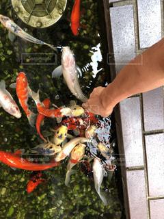 鯉の写真・画像素材[1536025]