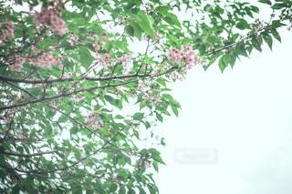 葉桜の写真・画像素材[2324386]