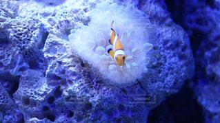 カクレクマノミとイソギンチャク@新江ノ島水族館の写真・画像素材[1280049]