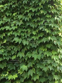 緑の壁の写真・画像素材[2170133]