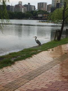 福岡市の大濠公園に白鷺がいましたの写真・画像素材[2489857]