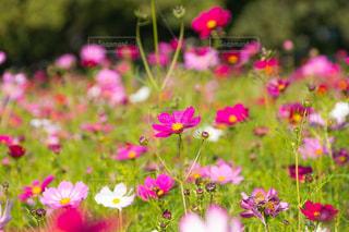 お花畑の写真・画像素材[216101]