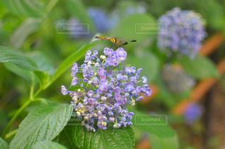 紫陽花の写真・画像素材[1280646]