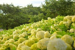 紫陽花の写真・画像素材[1280647]