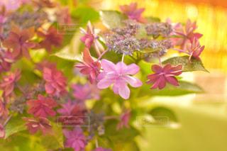 紫陽花の写真・画像素材[1280650]