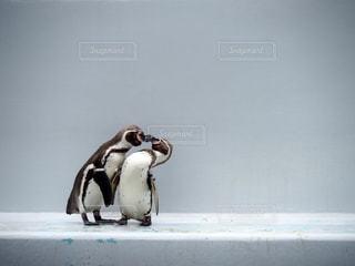 ペンギンの写真・画像素材[1364578]