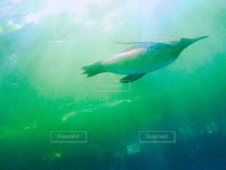 泳ぐペンギン♪の写真・画像素材[1326300]