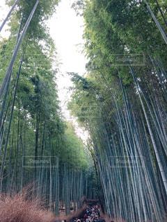 嵐山竹林♪の写真・画像素材[1765097]