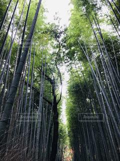 嵐山竹林♪の写真・画像素材[1765100]