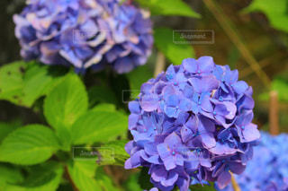 紫陽花の写真・画像素材[1329429]