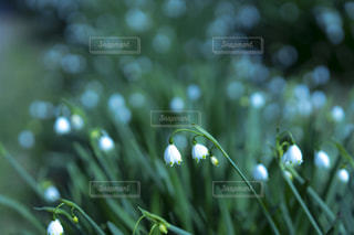 スズランの写真・画像素材[1286717]
