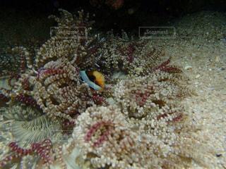 ニモ&珊瑚礁の写真・画像素材[1282635]