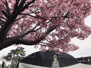 桜のクローズアップの写真・画像素材[3160749]