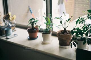窓辺の観葉植物の写真・画像素材[1717550]