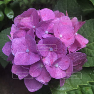 紫陽花の写真・画像素材[2702821]