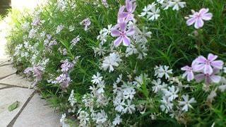 花の写真・画像素材[72087]