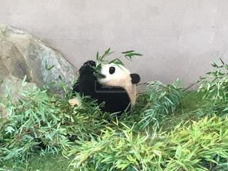 草の中に座っているパンダの写真・画像素材[1285142]